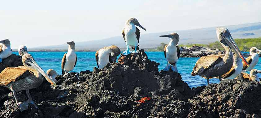 brown-pelican-on-volcanic-rock-in-galapagos